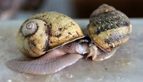 Le sexe des escargots perturbé par la peinture des bateaux