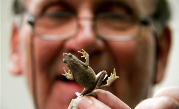 L'Atelopus Farci, grenouille colombienne au nom de guérilla