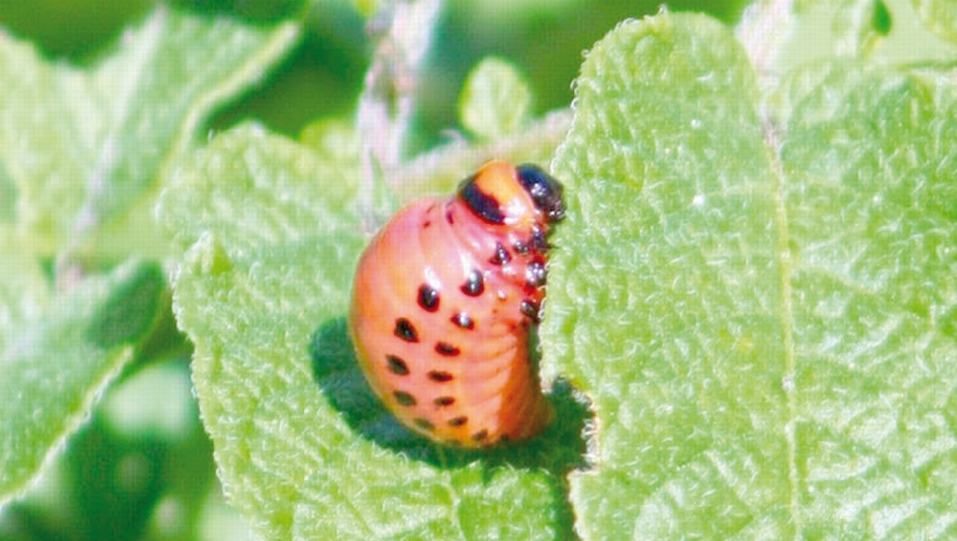 Menace sur les plantes indispensables à l'alimentation humaine