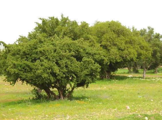 L'arganier du Haut-Atlas, une plante pour la protection de l'environnement et une source de vie pour plusieurs familles