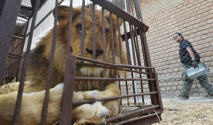 Insolite : Sauvetage de lions