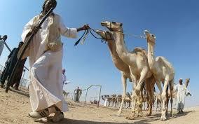 Au Qatar, des chameaux graines de champions