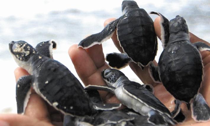 Les bébés-tortues pris au piège des lumières artificielles