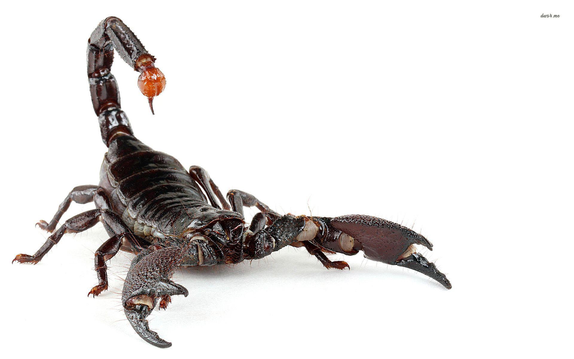 Traitement de piqûres de scorpion et morsures  de vipère, entre remèdes traditionnels et modernes