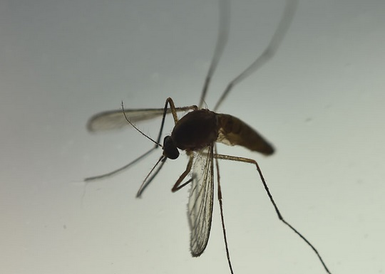 Lâcher des moustiques OGM dans la nature