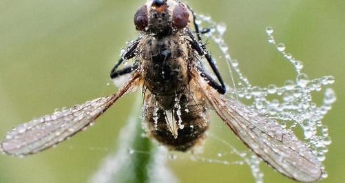 Découverte d'une nouvelle espèce de mouche