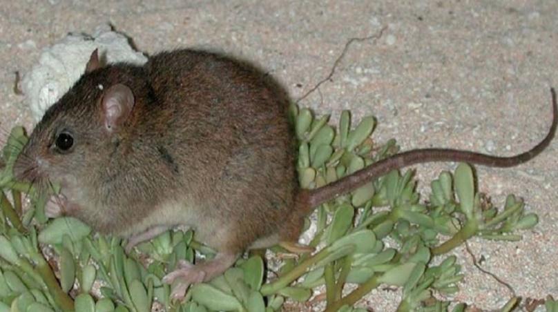 Un rongeur australien probablement le premier mammifère disparu à cause du réchauffement