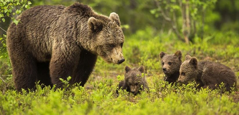 Quand les mères ours cherchent la protection des hommes