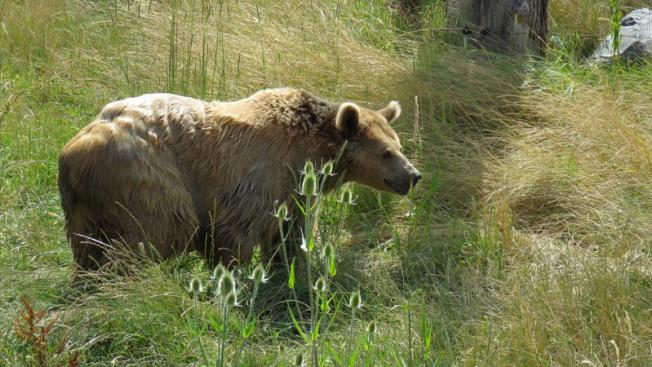 Levée de boucliers contre l'ours des Pyrénées françaises