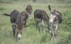 Après l'ivoire, la peau des ânes africains au cœur d'un trafic meurtrier