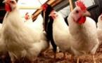 Sensibilisation des éleveurs de volaille aux dangers du virus de la grippe aviaire