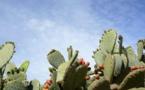 Contrôle et éradication de la Cochenille du cactus au Maroc