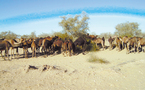 Provinces sahariennes: Un troupeau de dromadaires franchit le Mur de sécurité
