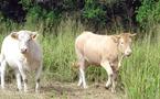 Croisement industriel des bovins : Journée de sensibilisation à El Jadida