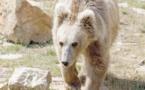 Le Yéti ? Un ours des hautes montagnes de l'Asie