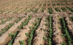 Dame Nature sourit au Maroc : Les dernières précipitations placent la campagne agricole dans des perspectives positives