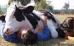 Insolite :  C'est vache