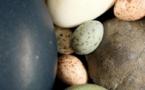 Les dinosaures ont transmis l'art de colorer les œufs aux oiseaux