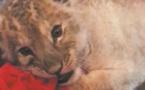 Le selfie avec un lionceau, une tendance qui se développe