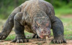Insolite : Dragon de Komodo