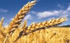Plus de 731.000 ha emblavés en céréales dans la région Fès-Meknès