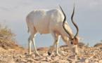 Naissance de bébés addax, espèce menacée, au jardin zoologique de Rabat