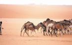 Les éleveurs de la région de Dakhla-Oued Eddahab tirent la sonnette d'alarme