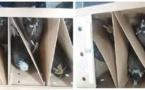 Un ressortissant étranger arrêté in extremis en possession de 26 faucons vivants