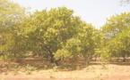 Concilier exportation d'anacarde et sécurité alimentaire au Ghana