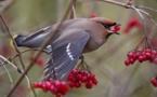 Insolite : Des oiseaux se saoulent de baies fermentées
