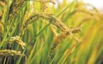 Révision à la baisse de la production mondiale de céréales en 2019