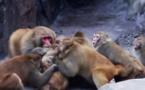 Insolite : Bagarre entre deux clans de macaques