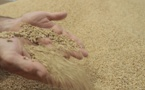 Distribution de 100.000 quintaux d'orge subventionnée aux éleveurs de la région de Souss-Massa