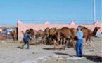 Réouverture du plus grand marché aux dromadaires du Sud marocain