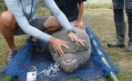 Gabon: Victor, lamantin sauvé des eaux mais toujours en danger