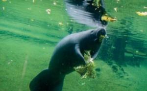 En Floride, l'inquiétante augmentation de la mortalité des lamantins