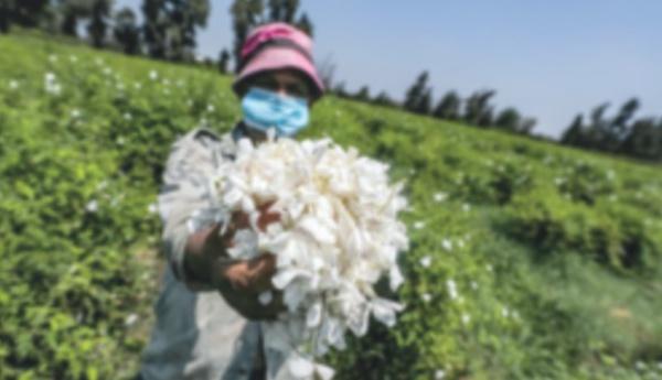 Un village égyptien embaume le monde d'effluves de jasmin