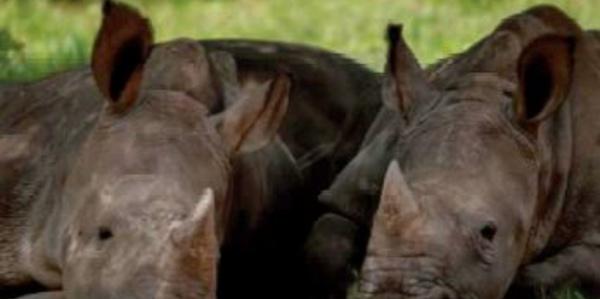 Requinquer les bébés rhinos