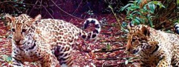 Programme de réintroduction de jaguars dans le nord-est de l'Argentine