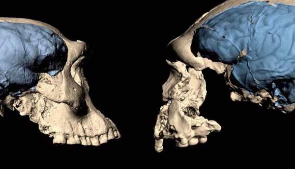 Le cerveau humain moderne est apparu il y a moins longtemps que supposé