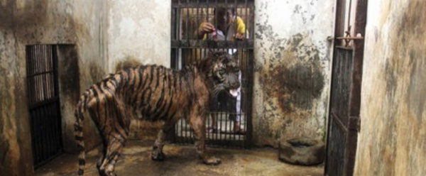 "Mélanie, la tigresse victime du ""zoo de la mort"""