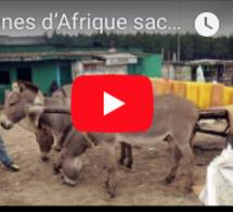 """Reporters : Les ânes d'Afrique sacrifiés sur l'autel de la """"médecine"""" chinoise"""