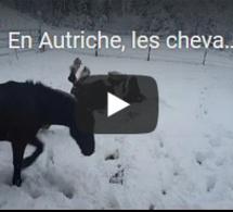 En Autriche, les chevaux profitent de la neige