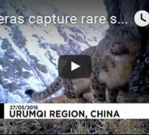 De jeunes léopards des neiges filmés dans les montagnes en chine